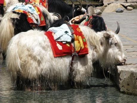 Lijiang - Yulong Snow Mountains 18