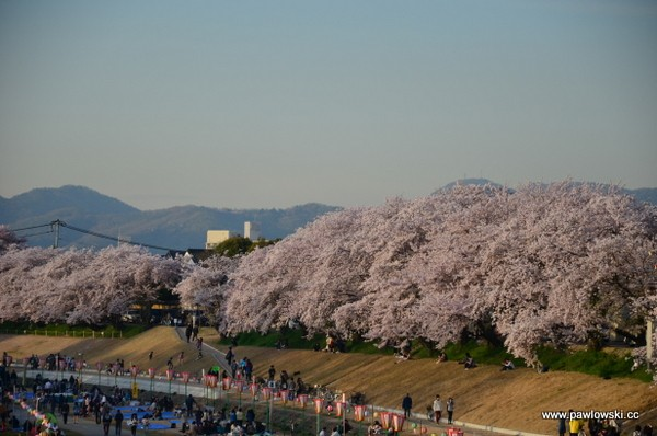Sakura - kwitnące wiśnie w Japonii