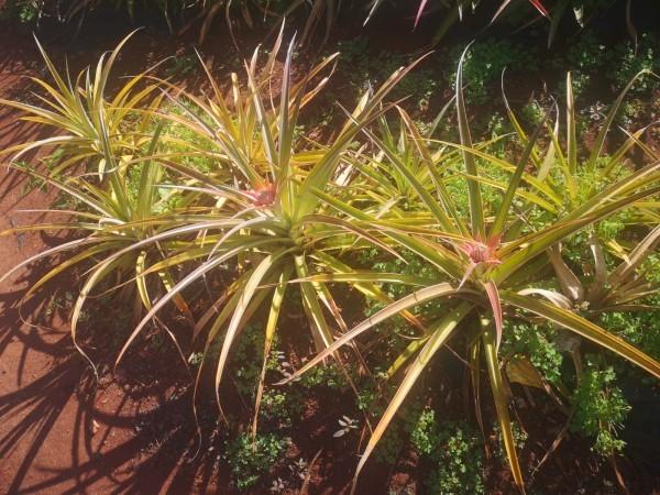 Plantacja ananasów Dole